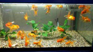 akvarium-s-rybkami