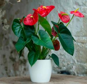 komnatniy-cvetok