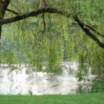 Денежный обряд на иву возле реки