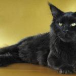 6 причин почему черный кот в доме это хорошо